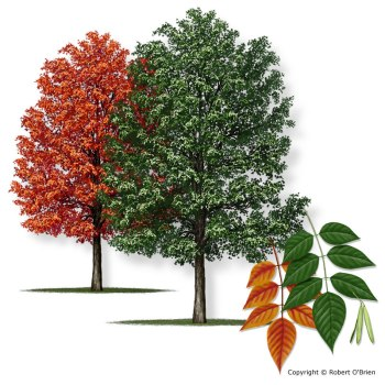 A white ash tree, in its fall and spring incarnations. Illustration by Robert O'Brien.